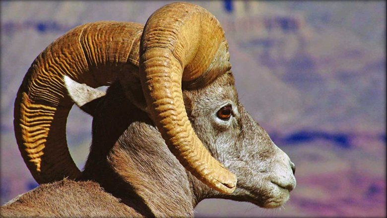 Exploring The Canyon And Learning More About Desert Bighorn Sheep