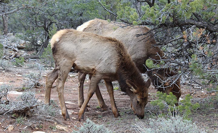 Two large elk in the forest at the edge of the South Rim on a Las Vegas to Grand Canyon tour.