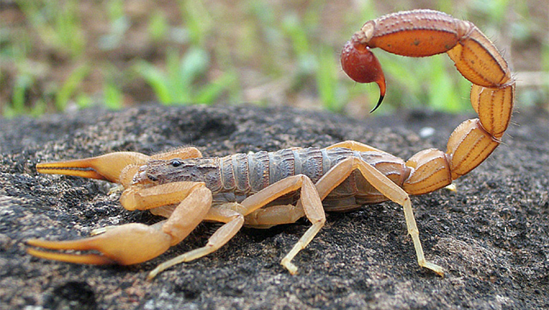 Wildlife In The Grand Canyon Quiz Tests How Much You Know About Scorpions