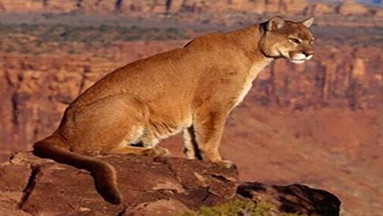A mountain lion perched on the edge of the Grand Canyon, a rare sighting for most Grand Canyon animals.