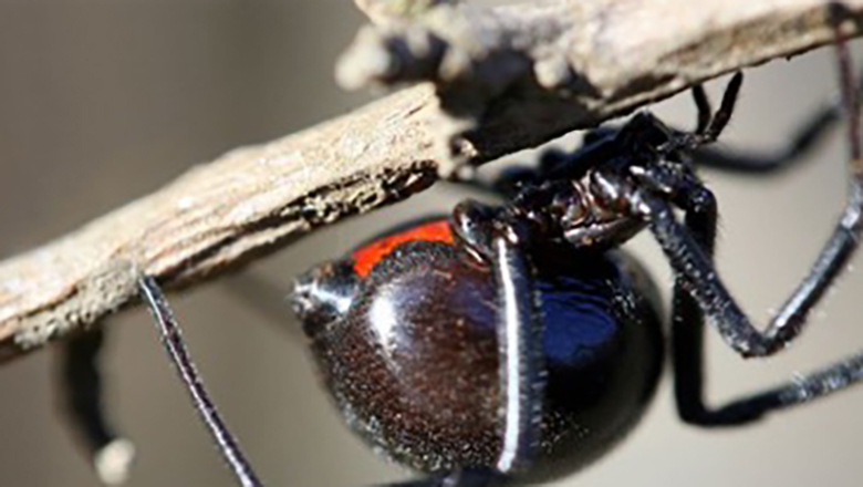 A close up picture of a Grand Canyon black widow spider hanging on a branch.