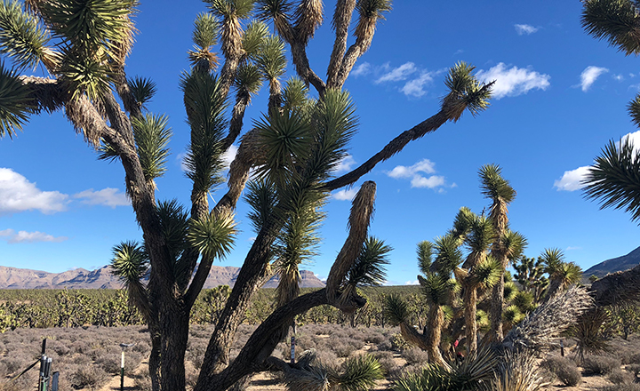 Joshua Tree National Park can be seen along the drive on a West Rim small group tour.